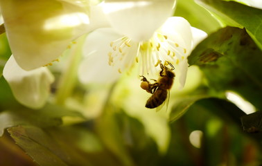 A bee collects pollen from a Christmas Rose blossoms on a sunny morning in Hanau