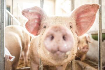 Pig face closeup