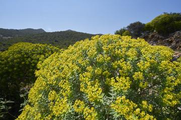 Baum-Wolfsmilch (Euphorbia dendroides) auf Kreta