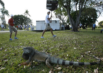 An iguana rears back as a standard bearer walks in the background at the WGC-Cadillac Championship golf tournament in Doral