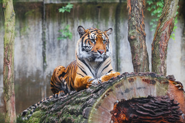 Beautiful and endangered female Sumatran Tiger