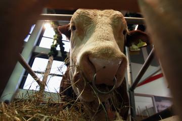 Breeding bull Wargol feeds from trough at Internationale Gruene Woche fair in Berlin