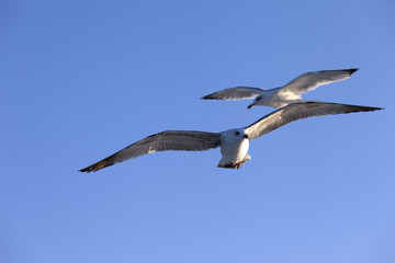 Seagulls flying at blue clear sky