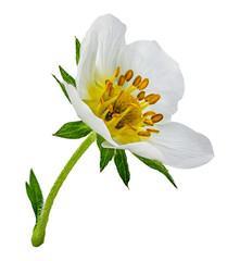 Fototapete - strawberry flower isolated on white