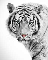 Wall Mural - White tiger beauty
