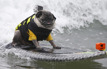 A pug named Brandy competes in the 10th annual Petco Unleashed surfing dog contest at Imperial Beach, California