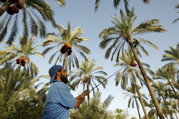 Palestinian farmer harvests dates from palm trees in Khan Younis.