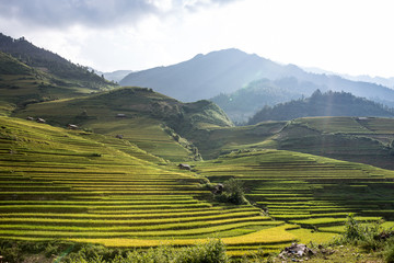 green and yellow paddy field layer with cottage at Vietnam
