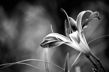 Galaxy Explosion Daylily black and white