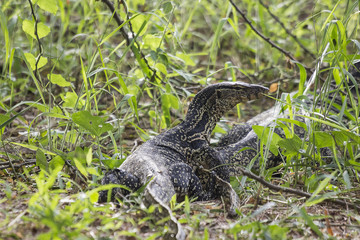 Monitor lizard in the forest