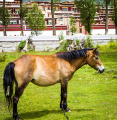 A mountain horse on the grass with Tibetan village background