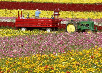 Visitors take pictures from a tractor pulled wagon as they are toured through acres of giant tecolote ranunculus flowers at the Flower Fields in Carlsbad