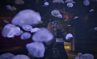 A visitor takes pictures of jellyfish swimming in a large tank at the Vancouver Aquarium in Vancouver