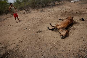 A farmer looks at a dead cow in the town of Uaua