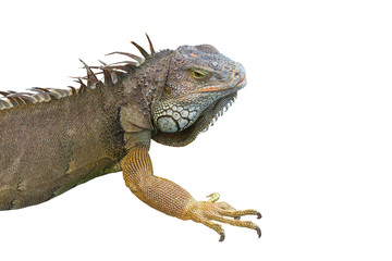 big iguana isolated on the white background