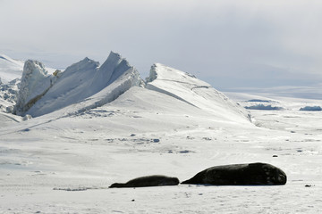 Seals lie on a frozen section of the Ross Sea at the Scott Base in Antarctica