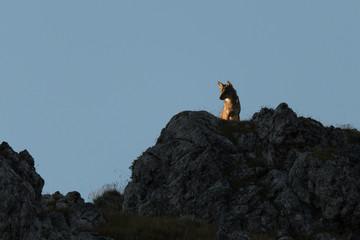 Loup sauvage Mercantour