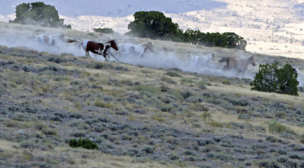 Wild horses run down a ridge as they are gathered by the Bureau of Land Management in the Conger Mountains near Border in Utah