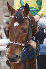 Race horse head with jockey. Paddock area.