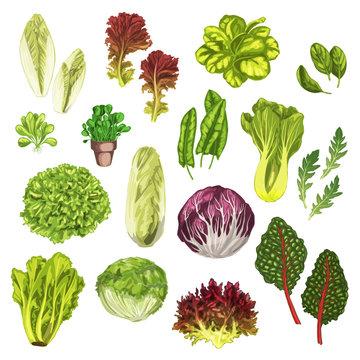 Vegetable greens, salad leaf, herbs watercolor set