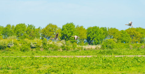 Geese flying over a meadow in wetland in spring