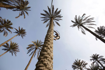 A boy climbs a palm tree to collect dates in an agricultural area in el-Hawamdiya
