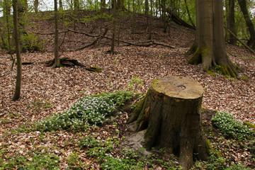 Wald, Frühling, Wildblumen, Baumstumpf, Waldspziergang