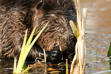 Beaver munching on juicy roots in the shallow lake water. Beaver Canadian national animal.