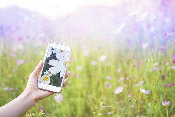 Woman Photography take a photo of fields white Cosmos beautiful by smartphone with cosmos garden with cool tone