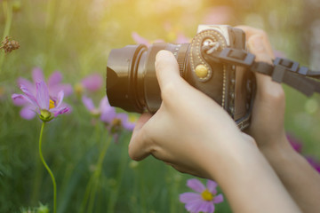 Asian female tourist photographer take a photo by digital camera to beautiful cosmos flower garden, selective focus.