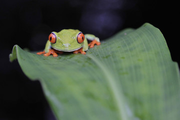 A red-eyed tree frog is seen at the Montibell wildlife reserve