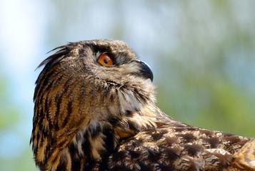 European eagle owl ( Bubo Bubo ).