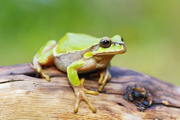 cute little frog Hyla arborea