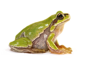 cute tree frog over white background