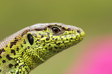 portrait of beautiful male sand lizard