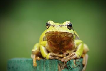 tree frog looking at camera