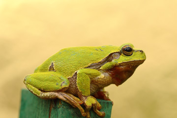 tree frog profile view