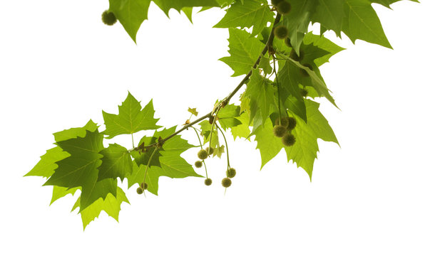 plane tree branch isolated