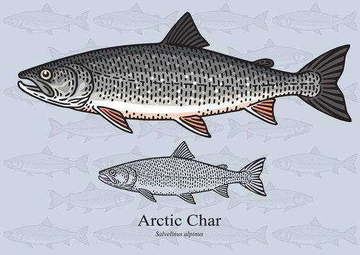 Arctic char. Vector illustration for artwork in small sizes. Suitable for graphic and packaging design, educational examples, web, etc.