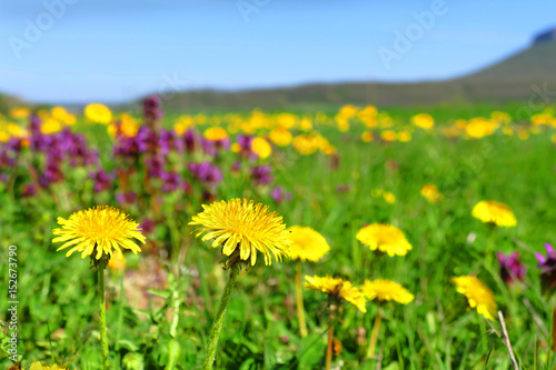 Spring meadow with blossoming dandelions.