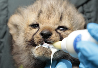 A new born cheetah cub is fed milk by a zookeeper at the zoo in Muenster