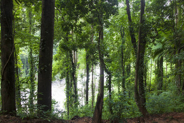Evergreen jungle forest after rain.