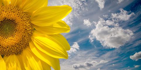 Sunflower flower on blue sky background close-up