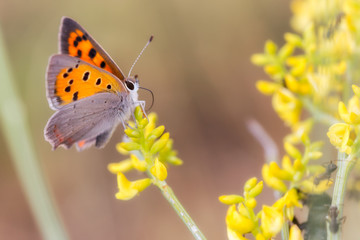Lycaena phlaeas. Butterfly in their natural environment.