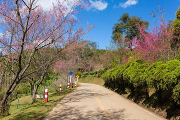 Blooming sakura tree along the beautiful road in Doi Ang Khang National Park, Northern Thailand.
