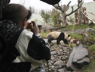 A woman takes pictures of Tian Tian, a female giant panda, at Edinburgh Zoo in Edinburgh, Scotland