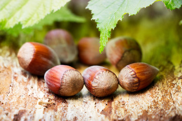 Ripe brown hazelnuts on a natural wooden board. Young leaves of hazel bush as a background.