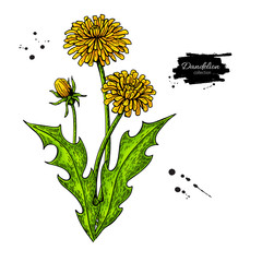Dandelion flower vector drawing set. Isolated wild plant and leaves.