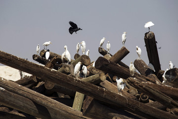 Cattle Egrets rest on telephone poles near the Jewish West Bank settlements of Yafit, north of Jericho