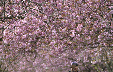 A woman takes 'selfies' on a camera phone along an avenue of cherry trees coming into blossom in Greenwich Park, south London